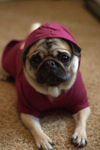 adorable, cute, dog, hoodie, pug, puppy | Pug Love ...