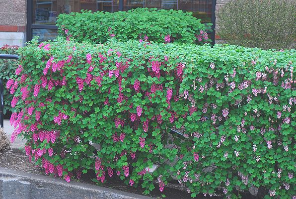 Flowering Hedging Plants What Is This And Can We Grow It
