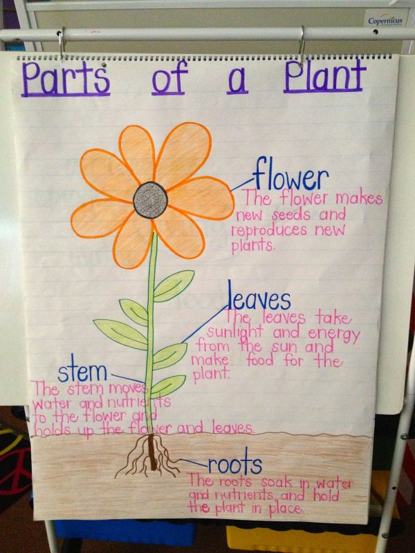 Parts of a Plant Anchor Chart Kindergarten