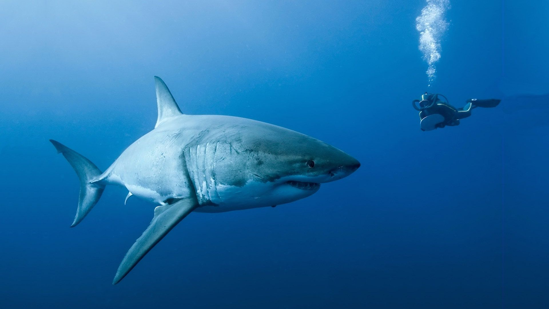great white shark wallpapers hd - wallpaper cave | all wallpapers