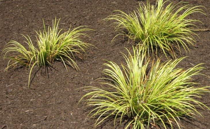 wallpaper hd ornamental grasses for desktop pics sweet flag grass these stay short and come back every