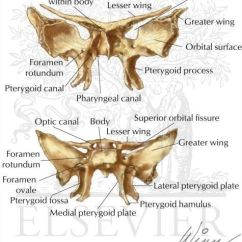 Bones Of The Skull Anterior View Diagram Jeep Tj Stereo Wiring Best 25+ Sphenoid Bone Ideas On Pinterest | Palatine Bone, Cranial Anatomy And Facial