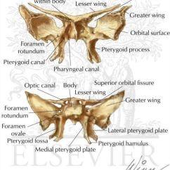 Bones Of The Skull Anterior View Diagram Leeson Gear Motor Parts Best 25+ Sphenoid Bone Ideas On Pinterest | Palatine Bone, Cranial Anatomy And Facial