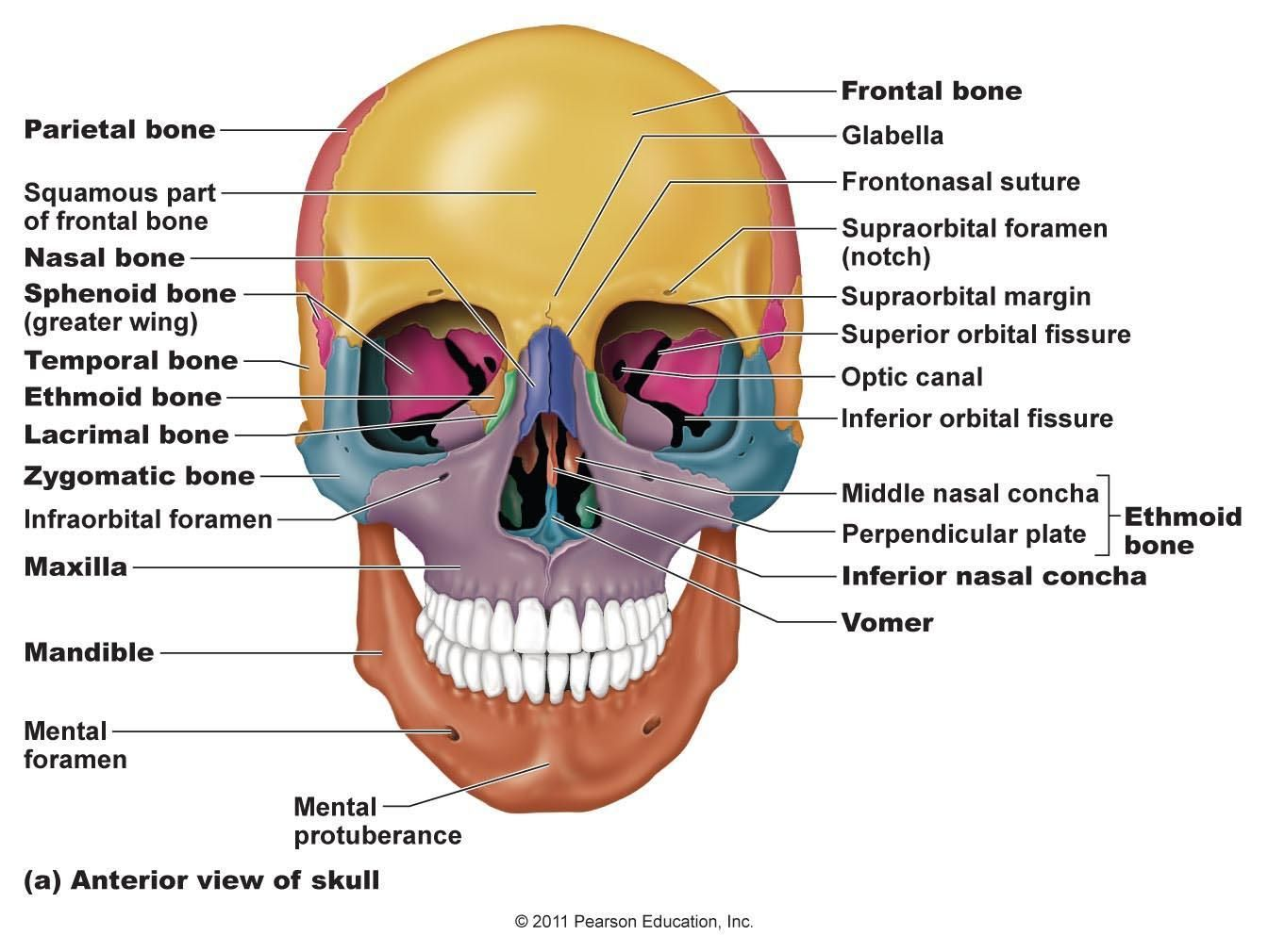 diagram of skull superior view anatomy 2008 smart car radio wiring palatine bone google search musculoskeletal anatamy