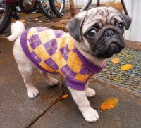 Fritzi's new pullover pug pugs, dog clothes, puppy | pugs ...