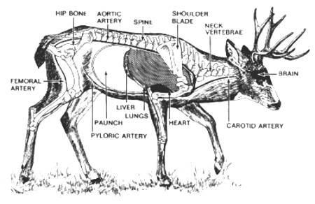 Deer Vitals Diagram 100 Images Shots To The Vital Areas Texas