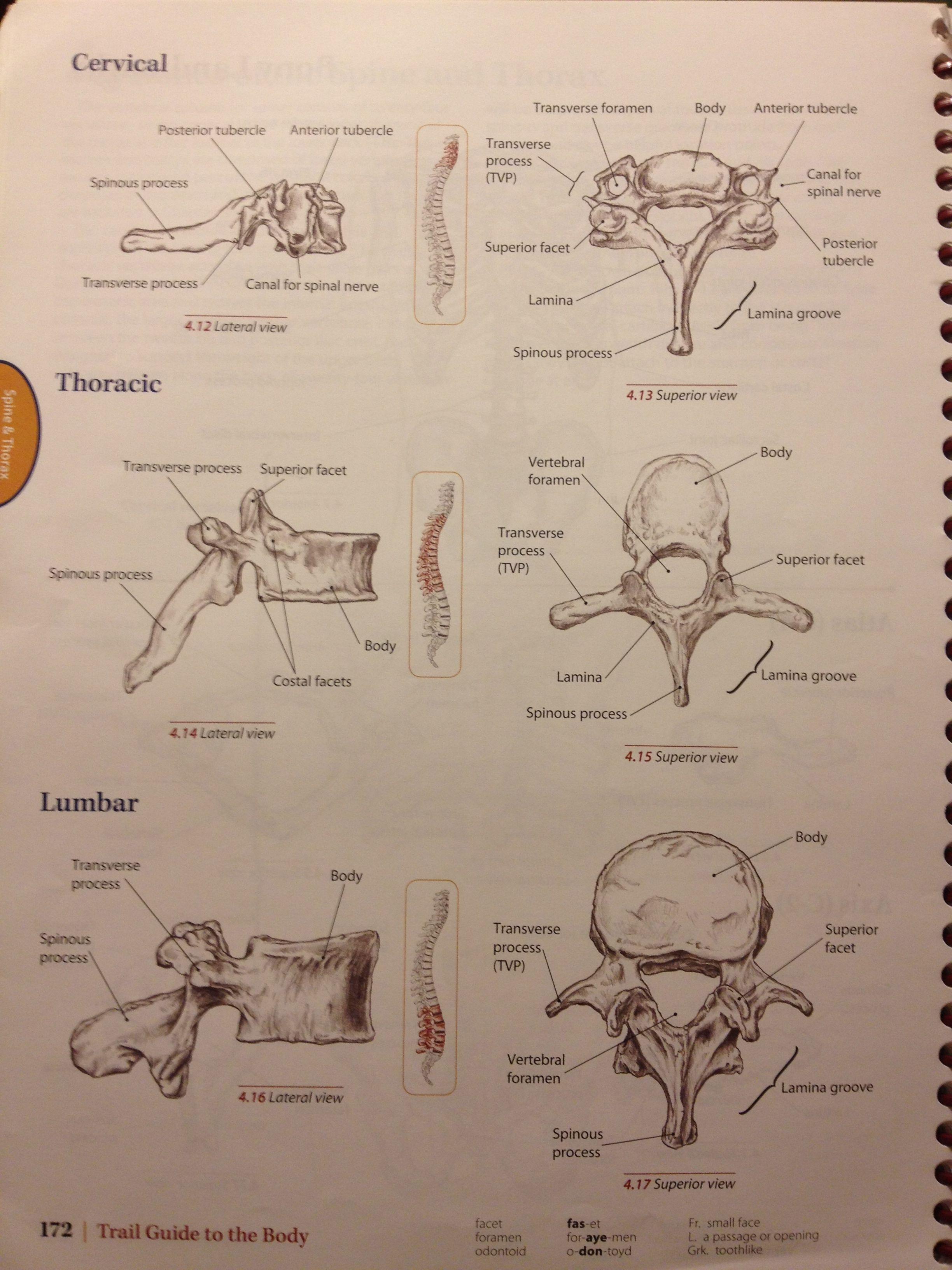 Bony Landmarks Of Cervical Thoracic And Lumbar Vertebrae