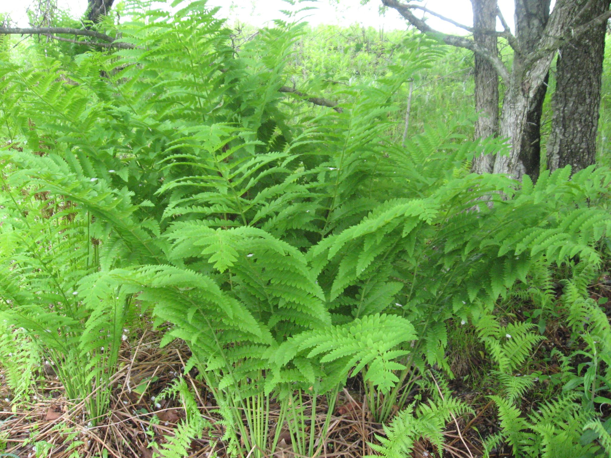 Where Fern Grows Wild