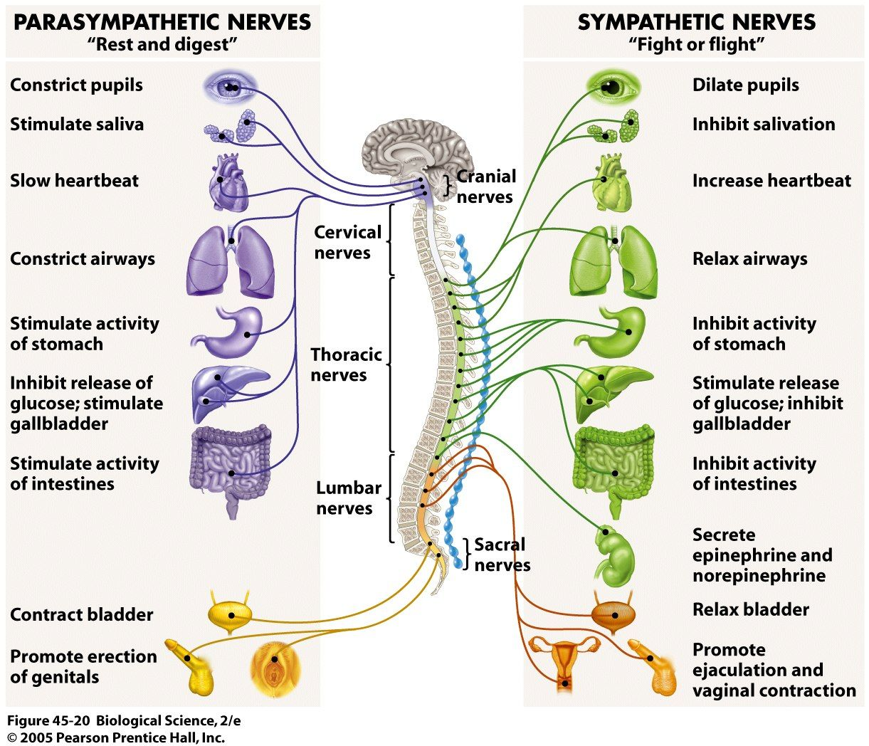sympathetic and parasympathetic diagram nest thermostat wiring heat pump the nervous system for kids provides a very fast