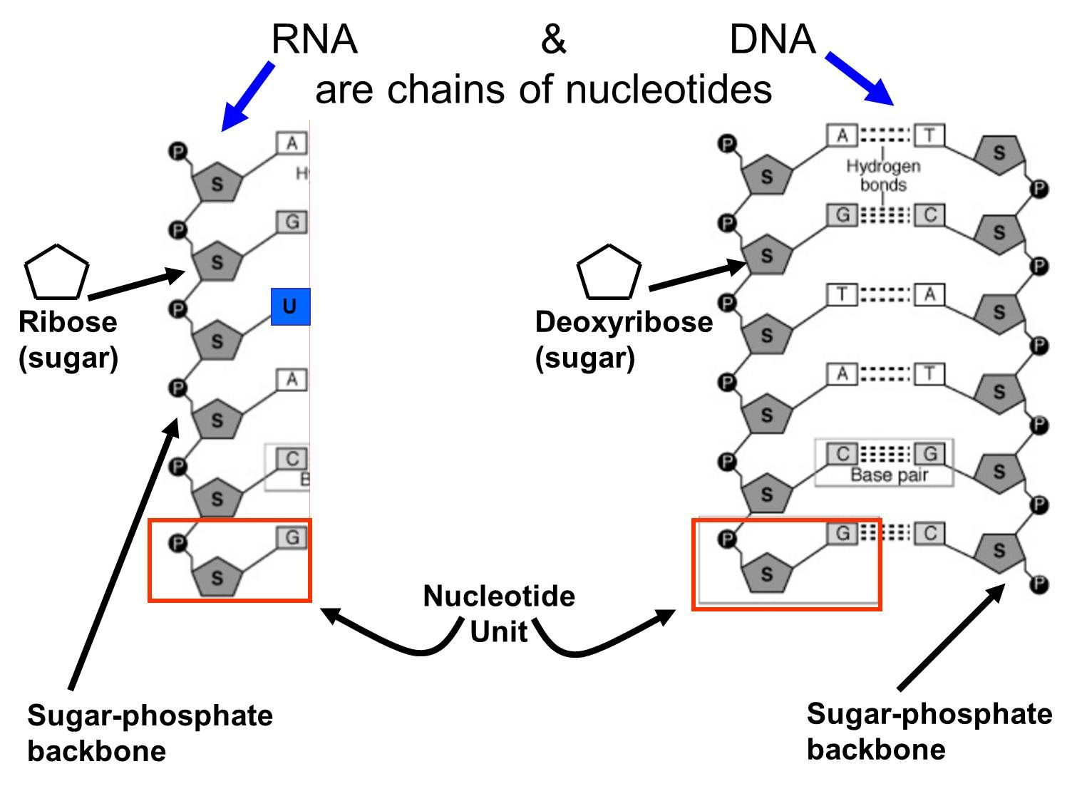 Nucleic Acids Are Chains Of Nucleotides Examples Of