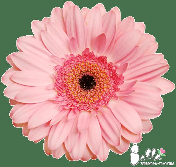 Pink Light Daisy Gerbera