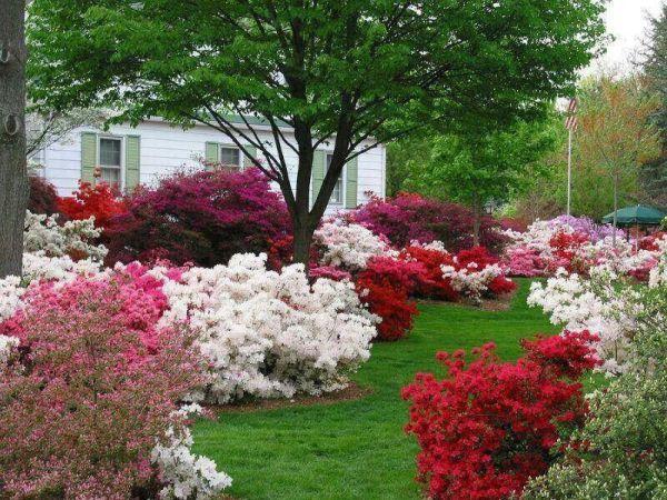 love azaleas 't grow