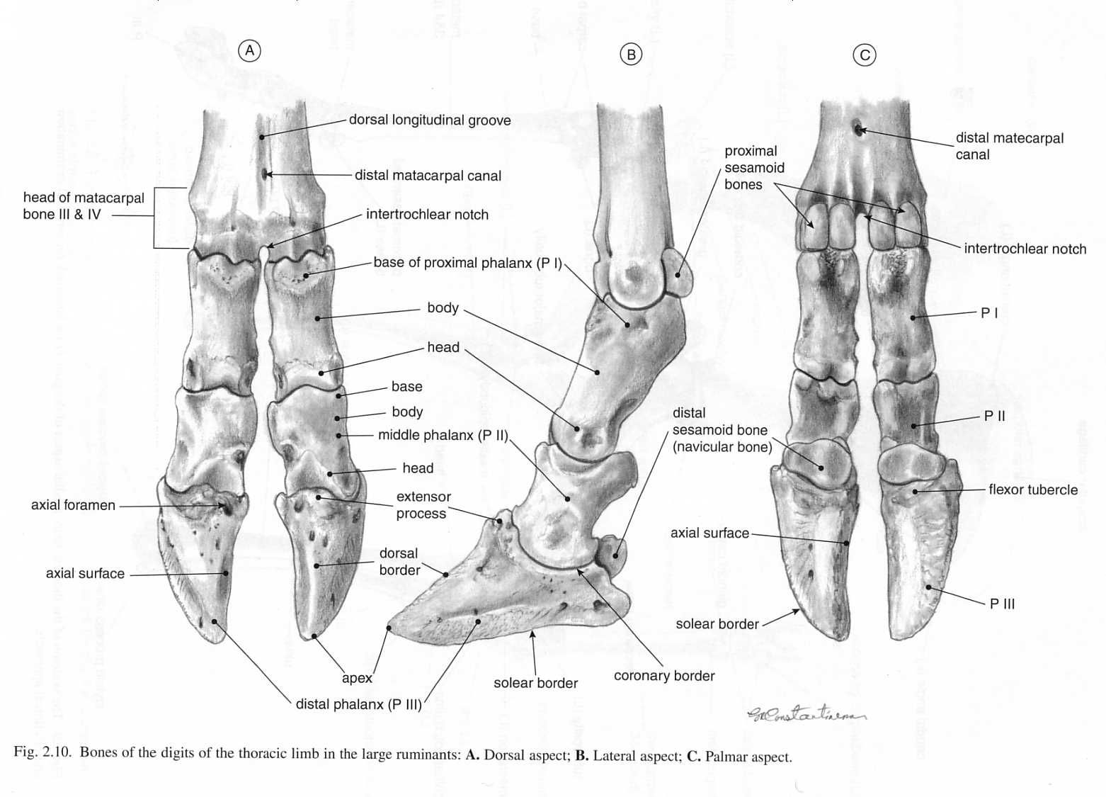 Ox Digits Bones Of Hooves Amp Lower Limbs Ox Similar To Goat