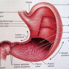Swallowing Food Diagram Headphone With Microphone Wiring Physiology Of The Stomach Anatomy Medicine Pinterest