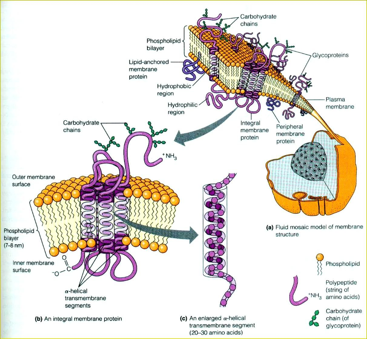diagram of fluid mosaic model cell membrane ez go golf cart wiring diagrams the proposed in 1972 by singer and