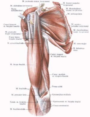 Anterior muscles of the shoulder girdle and arm | muscle