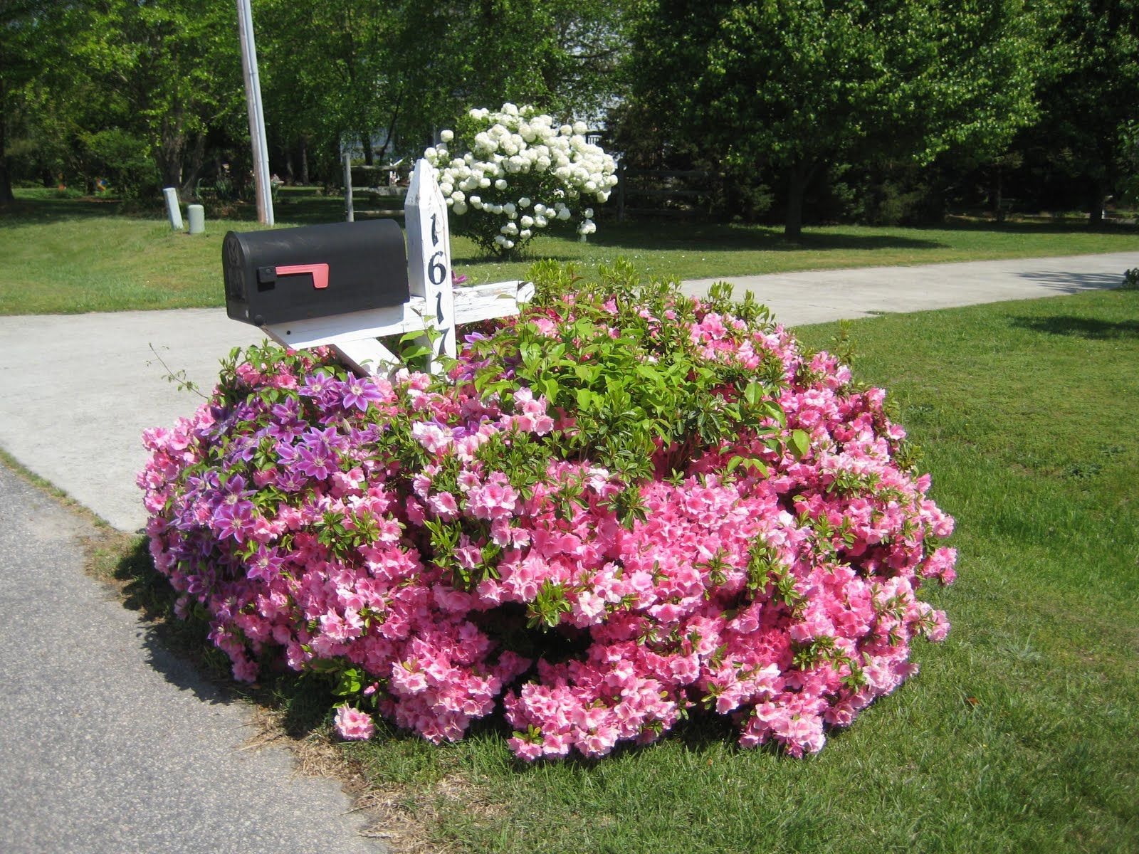 Pink Flowering Bushes And Clematis Around Mailbox Mailbox