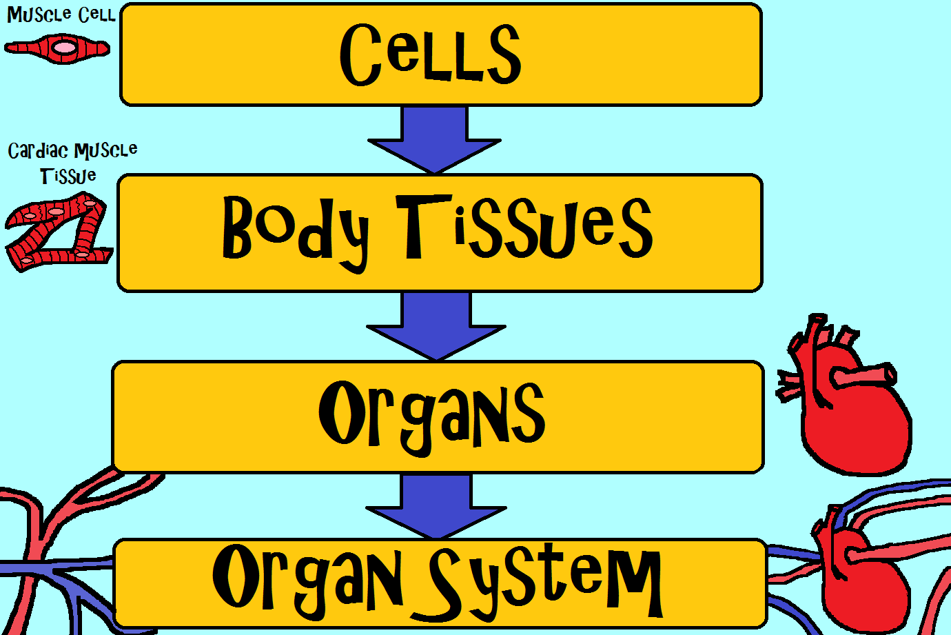 Cells Make Up Body Tissues Which Make Up Organs Which Make