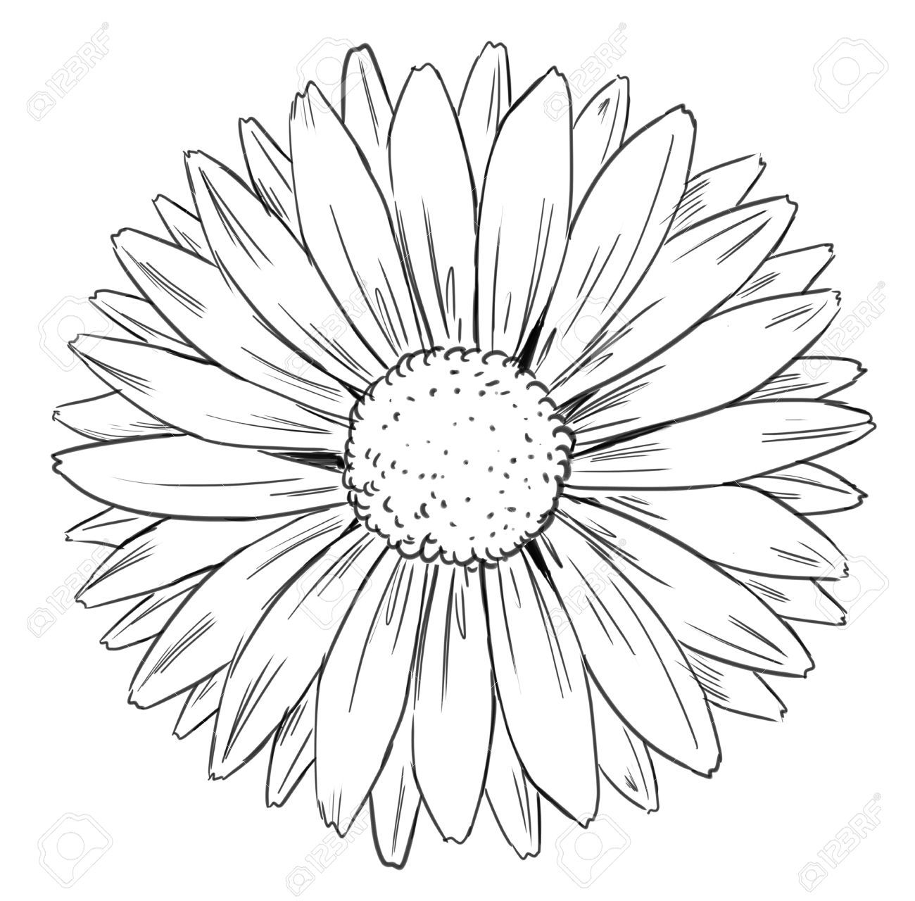 Daisy Sunflower Images, Stock Pictures, Royalty Free Daisy