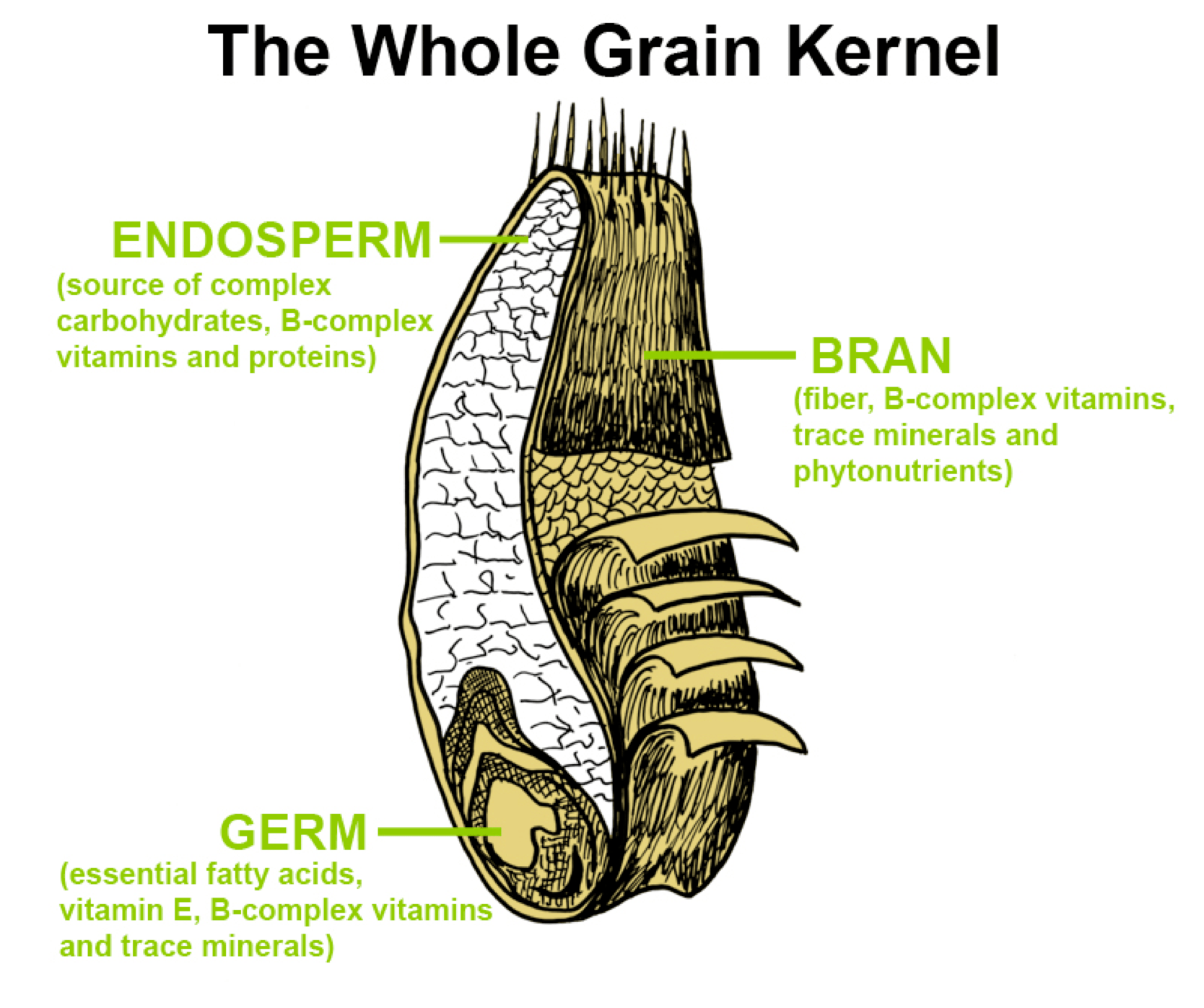 grain kernel diagram compu fire ignition wiring the whole mypyramid grains pinterest