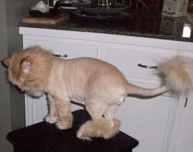 Orange Persian Cat Lion Cut Images So Cute Pinterest Cats