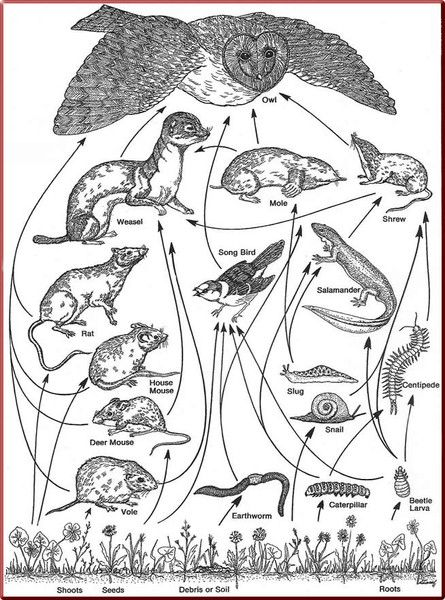 This is a drawing of the Owl's Food Web. This shows all