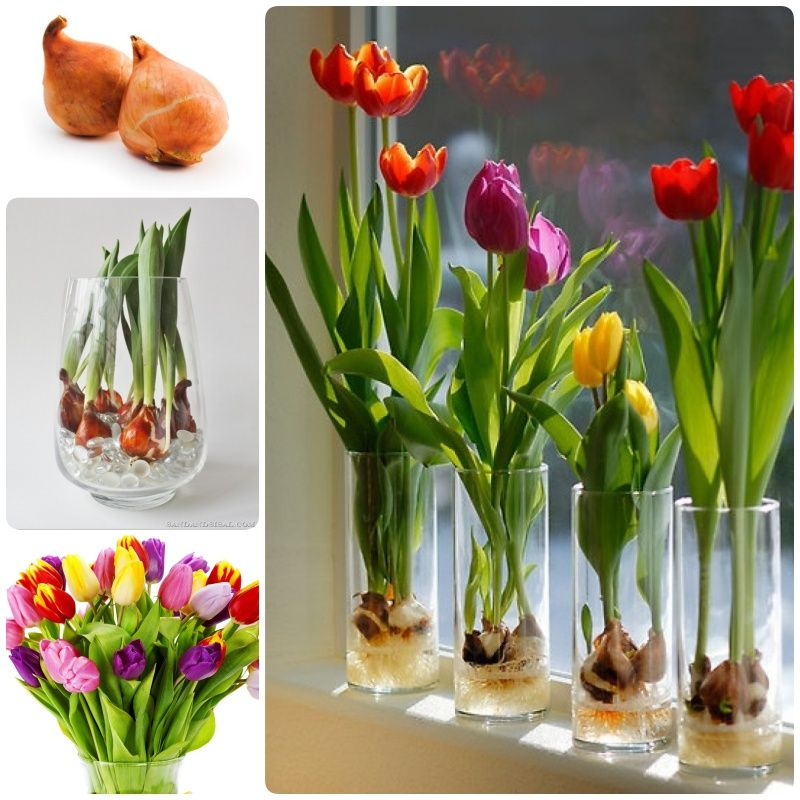 How To Grow Tulip Bulbs In A Vase Outdoor Everything Pinterest