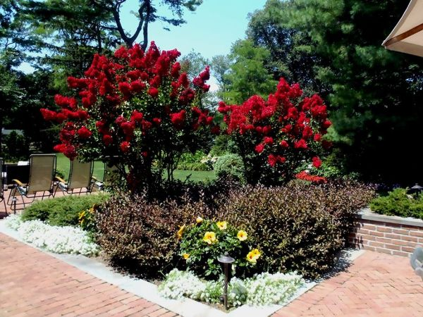 crape-myrtle-'red-rocket' gardening