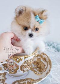 Beautiful Teacup Pomeranian puppy! www.TeaCupsPuppies.com ...