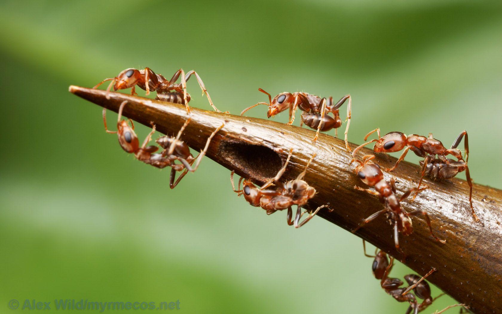 pheidole drogon. the spiny back of pheidole drogon reminded