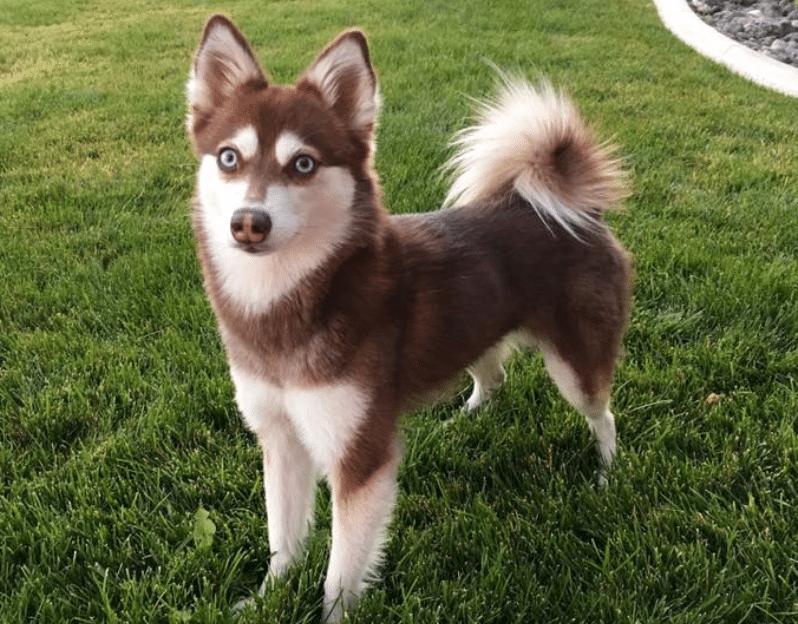 Meet Mia The Alaskan Klee Kai Puppy Goals Pinterest
