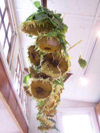 drying sunflowers | me & the garden | Pinterest ...