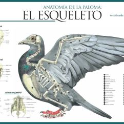 Bird Bone Structure Diagram 1996 Ford Explorer Ignition Wiring Pigeon Skeleton Pigeons Pinterest