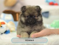 Best Place To Buy Teacup Puppies Small Dogs For Sale - Hot ...