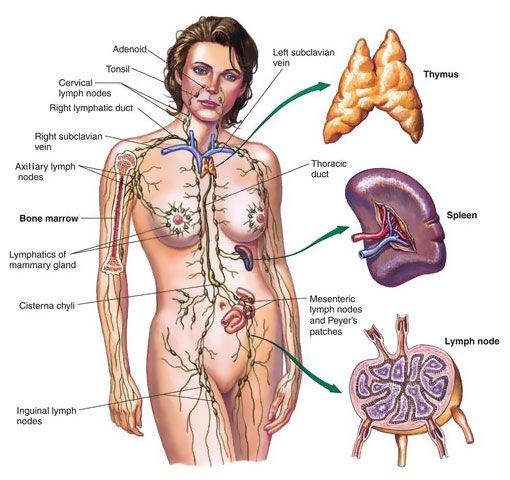 explore lymph nodes lymphatic system and more