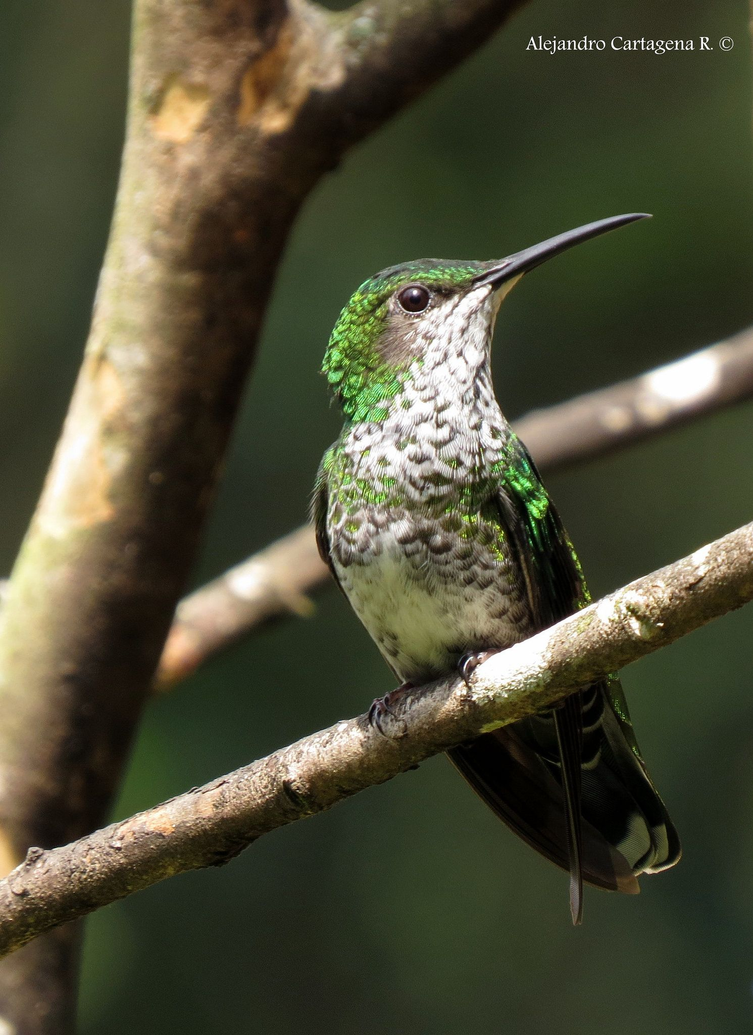 Colibr nuquiblanco Hummers Pinterest