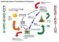 Cellular Respiration Diagram Worksheet   Photosynthesis ...