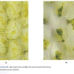 Elodea Leaf Cell Diagram Starter Generator Wiring Plant Plasmolysis Jpg 1473938 Kib101 Pinterest