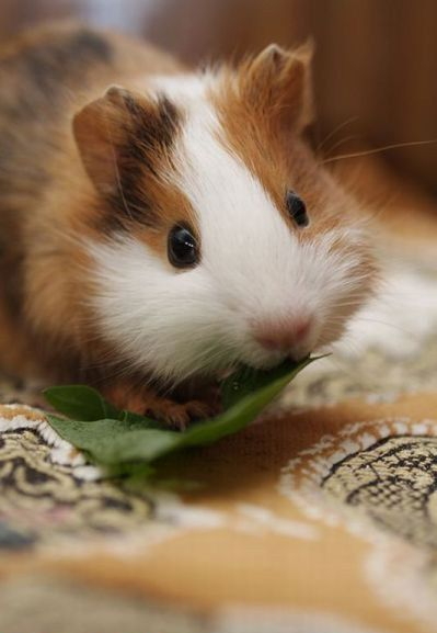 This is so Adorable!  -Guinea Pigs, Cute I cant see a guinea pig pin and not pin