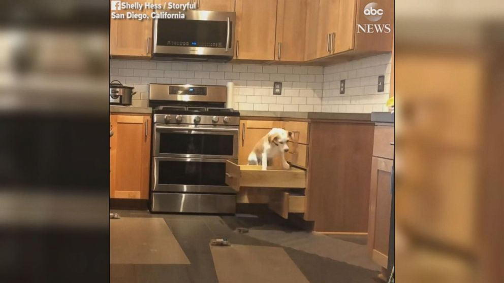kitchen counter how much does it cost to remodel a clever beagle opens drawers hop on video abc news