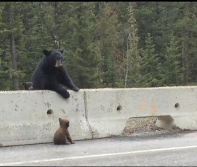 Mama Bear Pulls Cub Off Highway