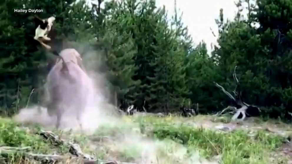 bison attacks 9 year