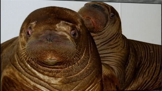 Orphaned Baby Walrus Gets New Home in New York Video  ABC