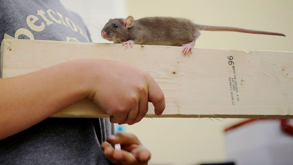 Seoul Virus Spread by Pet Rats Under Investigation in Multiple ...
