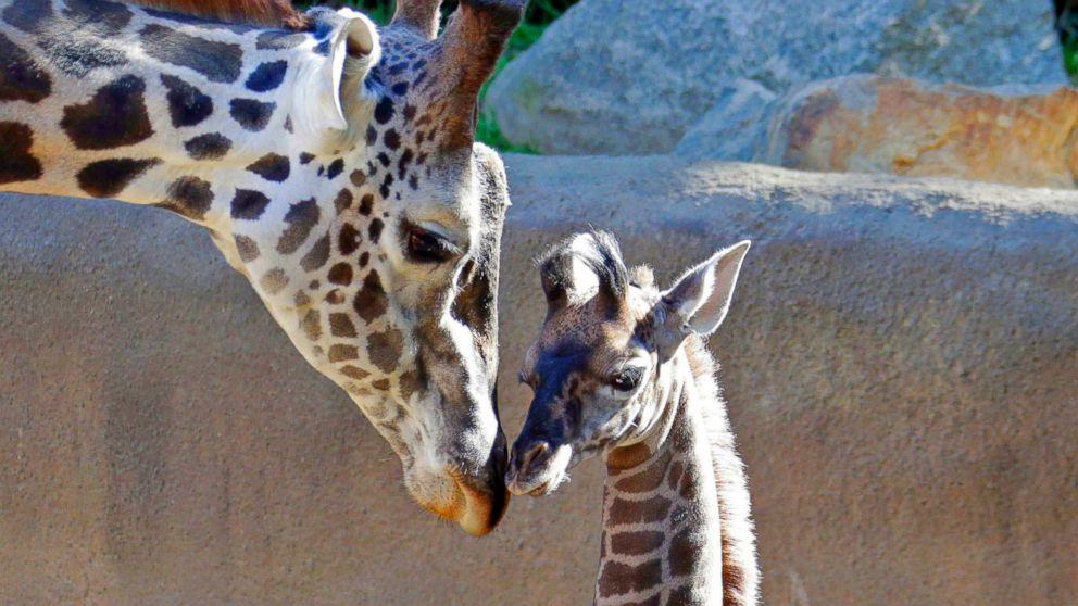 Giraffe Extinction Status