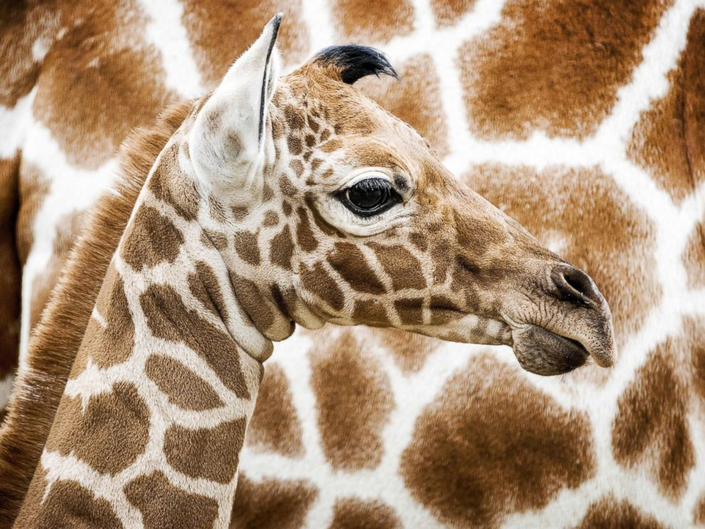 Giraffes in Danger of Becoming Extinct in the Wild: Study - ABC News
