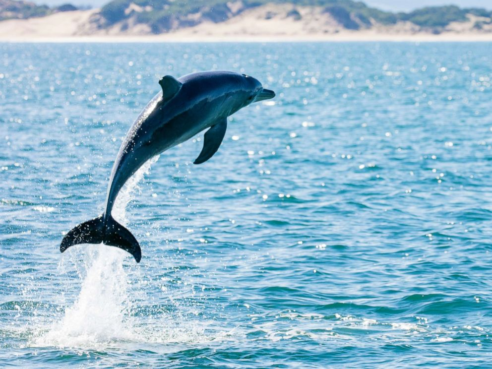 playful rutting dolphin leads