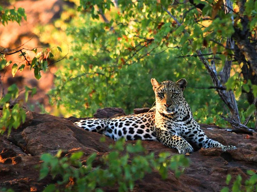 toddler killed by leopard