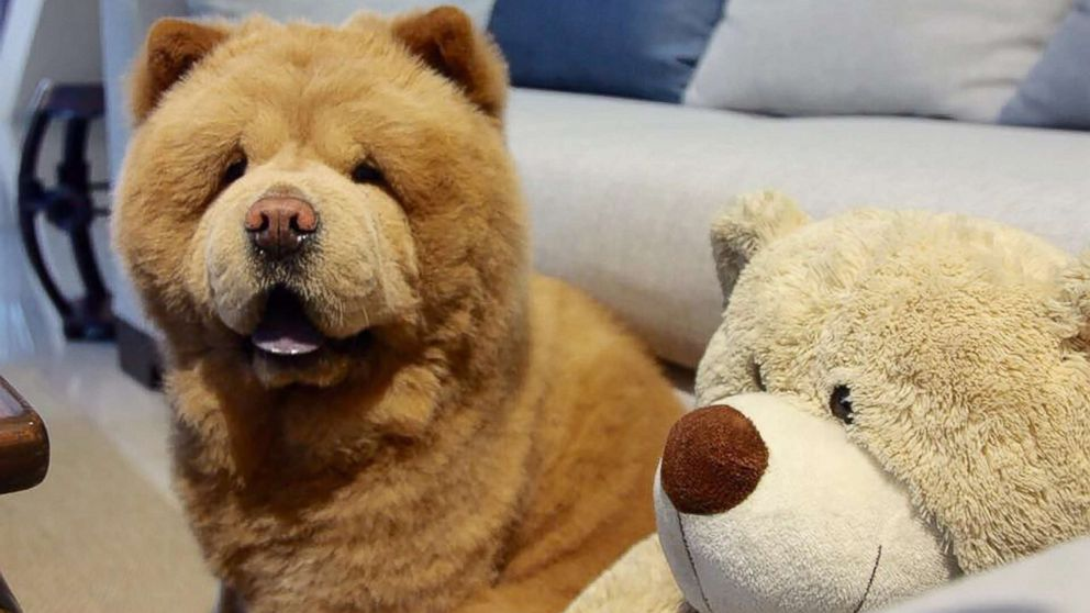 Fluffy Dog That Resembles Bear Takes Social Media By Storm