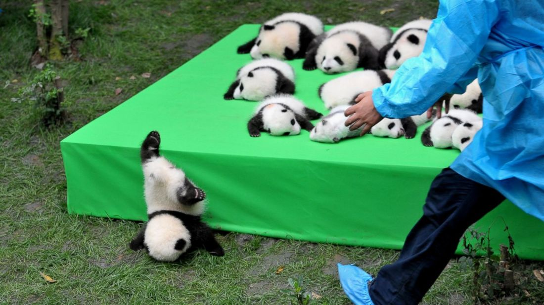Silly Baby Panda Falls Flat on Its Face During Public Debut of 23 Giant  Panda Cubs in China - ABC News